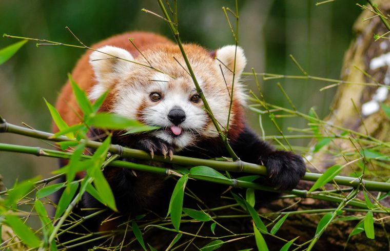 langtang circle trek red panda's home